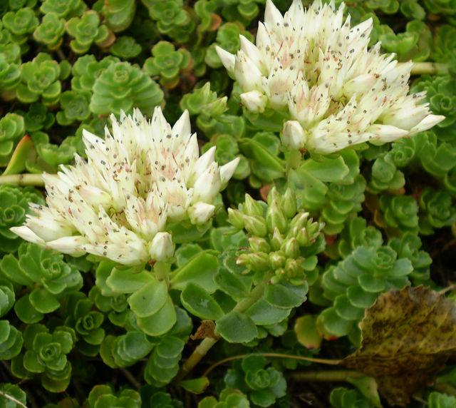rozchodník pochybný - biely kvet - Obrázok č. 1