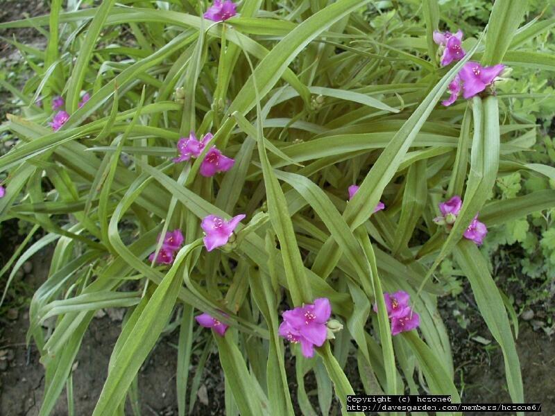 tradeskancia virdžínska- ružovo-fialový kvet - Obrázok č. 1