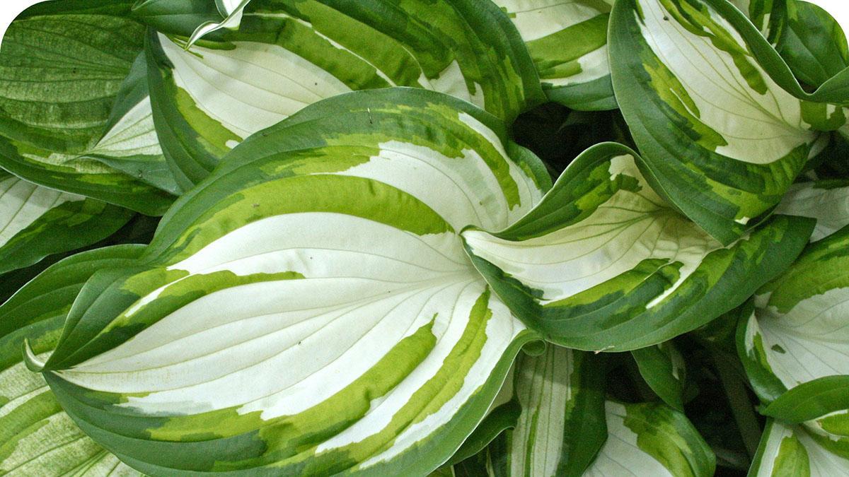 Hosta - zeleno-biela panašovaná - Obrázok č. 1