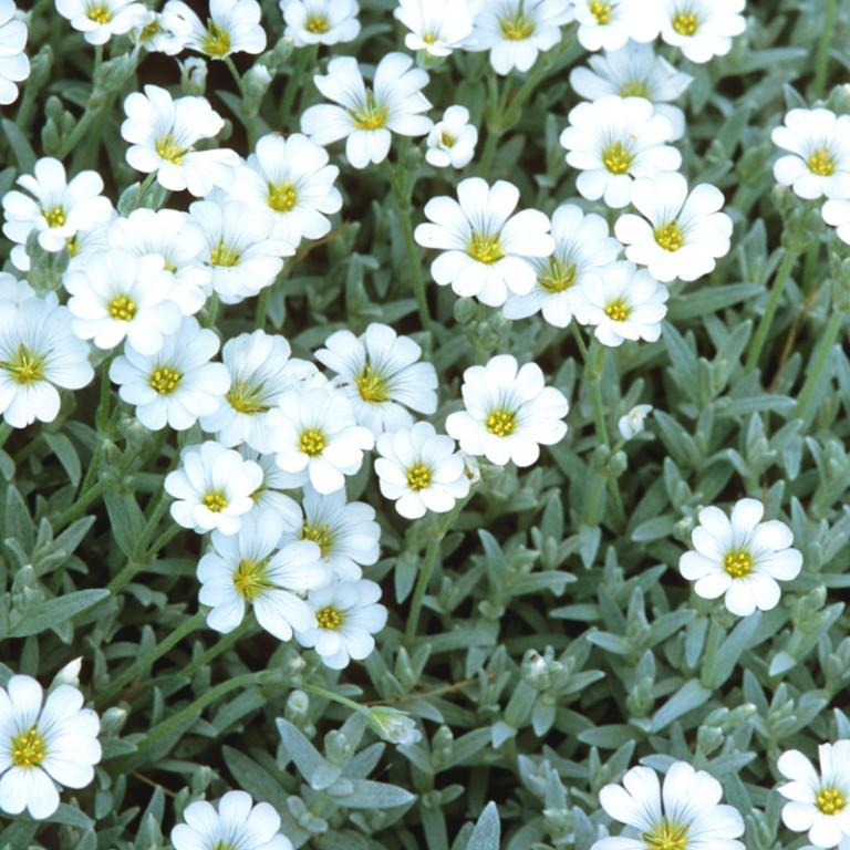 Rožec plstnatý - Obrázok č. 1