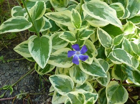 Zimozeleň väčšia - variegata - Obrázok č. 1