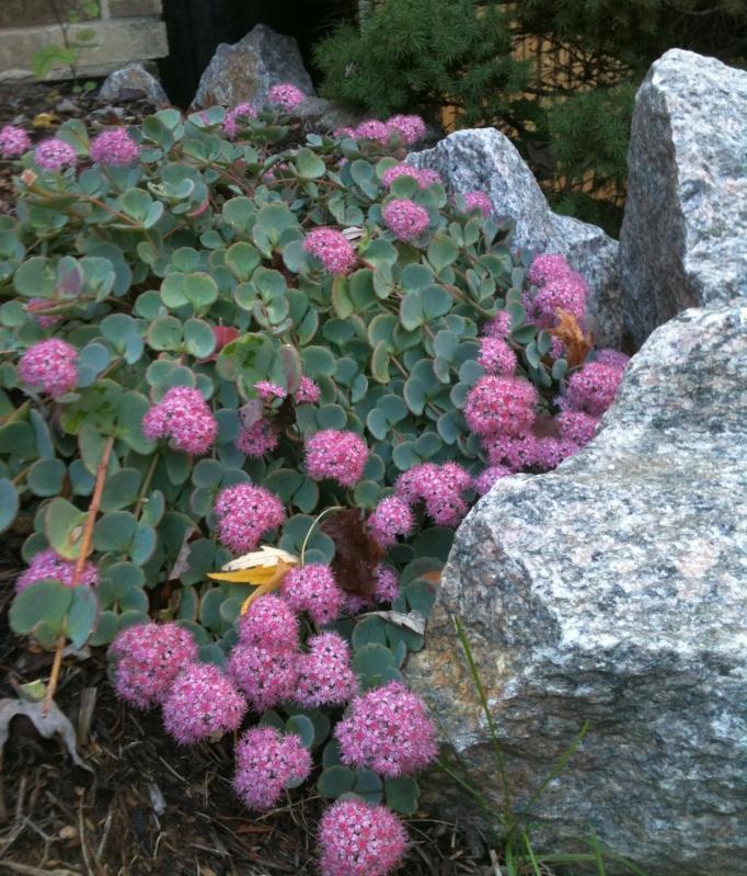 rozchodník Sieboldov -sivý list, ružový kvet - Obrázok č. 1