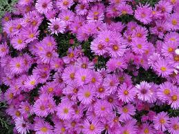 Astra krovitá nízka jesenná - ružovofialová - Obrázok č. 1