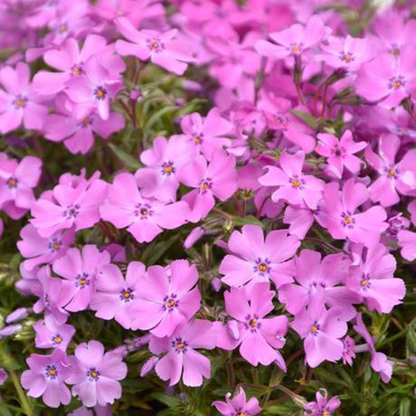 Flox šidlolistý - bledo ružový - Obrázok č. 1