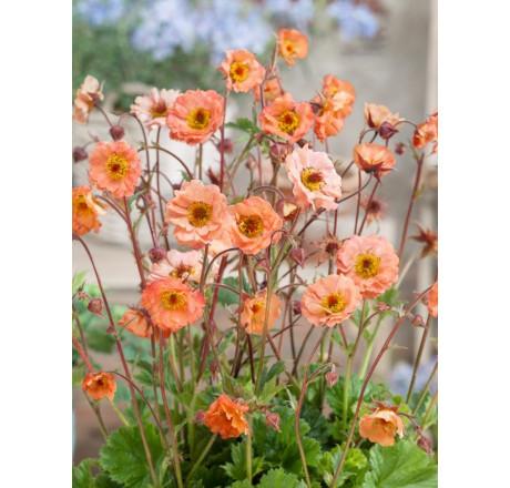 Kuklík potočný - oranžovo ružový - Obrázok č. 2