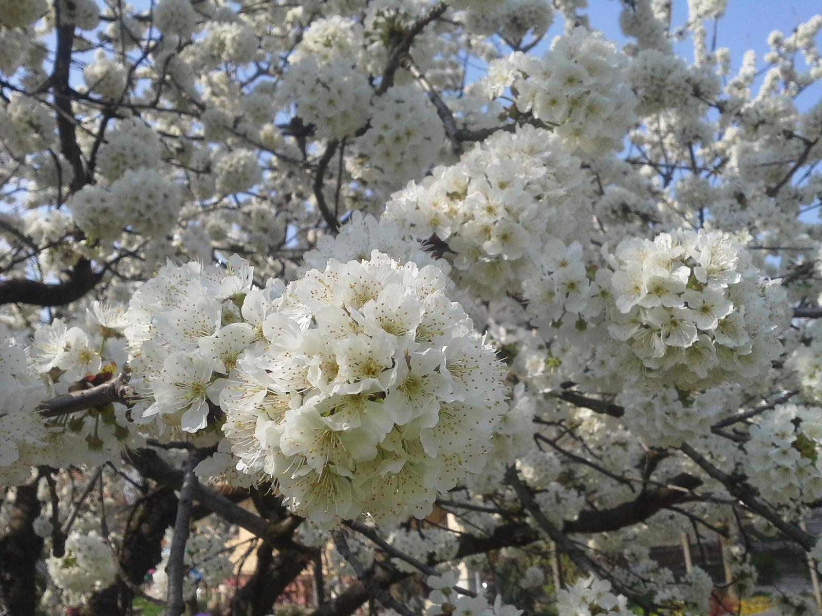 Veľkonočné vecičky - taketo kvetinove gule nam na jar vyrastli na ceresni.. ;))
