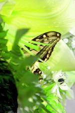 to je zivy motyl, pocas fotenia mu zavonala moja kytica, naozaj krasne vonala