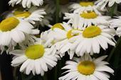 Rezané kvety, zeleň, dekorácia, Veľkoobchod ,