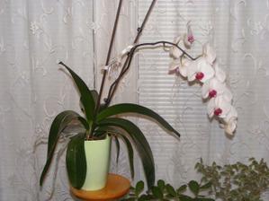 Takhle krásně mi na vánoce rozkvetla orchidej