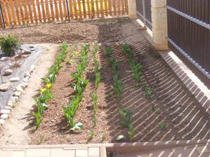 Moje cibuloviny - už začínají rozkvétat tulipány