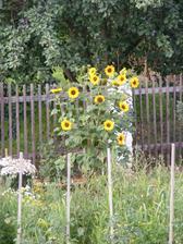 Takto krásně nám vykvetla slunečnice