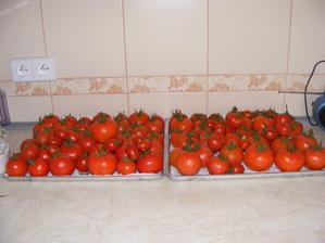 Úroda rajčat - sbírání za 3 dny