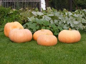 Letošní úroda tykví, teď čekají na vyřezání - odrůda Hallowen