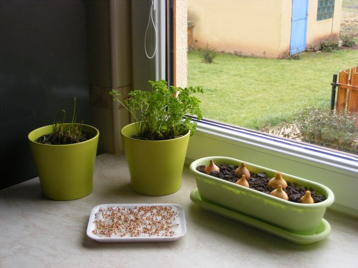 Naše Nova 101 a okolí v roce 2012 - Moje bylinková zahrádka v kuchyni - pažitka, petrželka, řeřicha a cibule na nať