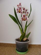 V novém domě mi krásně rozkvetla orchidej