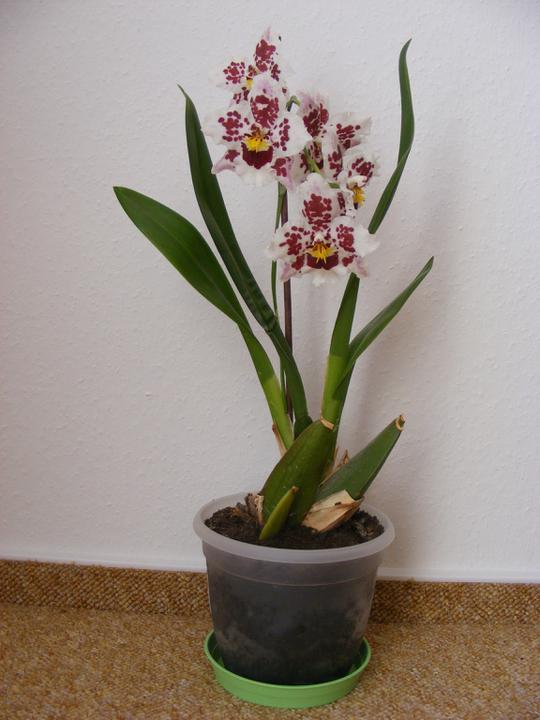 Zařizujeme NOVU 101 - V novém domě mi krásně rozkvetla orchidej