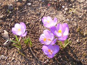 Už krásně rozkvetliy jarní cibuloviny