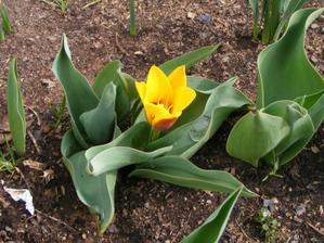 Rozkvetl první tulipán