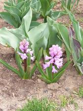 Rozkvetlé hyacinty