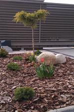 narodeninovy darcek v podobe prveho rozkvitnuteho tulipanu :-)