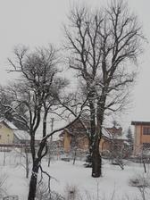 tento strom má okolo 100 rokov,býva ešte väčší,v lete ho susedia orezávali