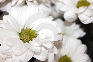 Biela chryzantema alchemilka- krasny kvietok, z ktoreho by som chcela mat svadobnu kyticu aj vyzdobu