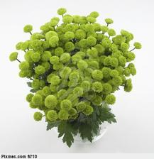 Taketo su chryzantemy este nerozkvitnute a krasne su v kytici v kombinacii s rozkvitnutymi
