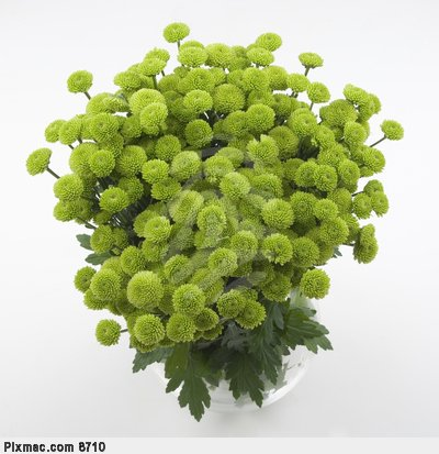 Zeleno- zlata vyzdoba s chryzantemami - Taketo su chryzantemy este nerozkvitnute a krasne su v kytici v kombinacii s rozkvitnutymi