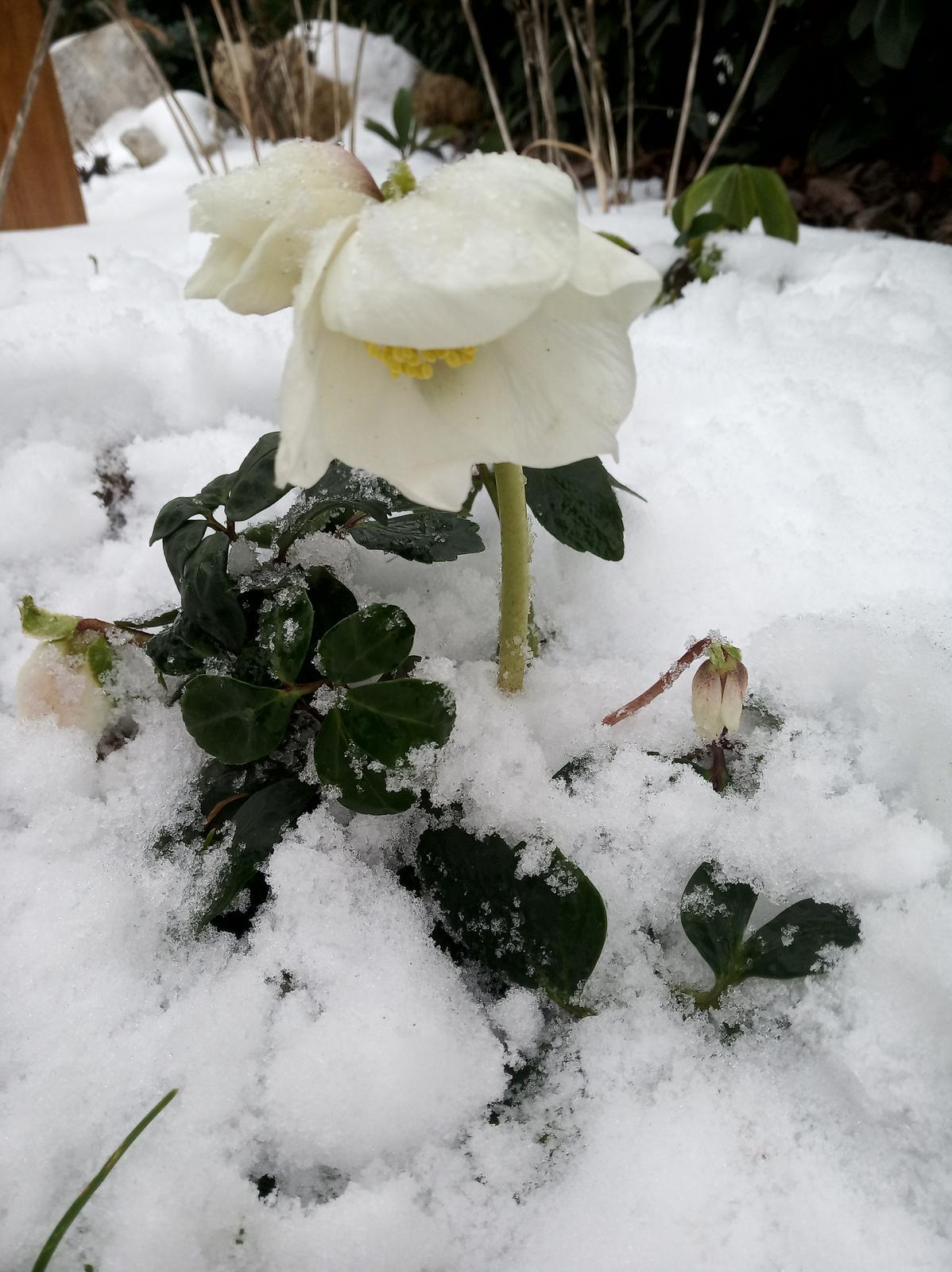 Krásky v snehu....už aby všetky rozkvitli:-) - Obrázok č. 1
