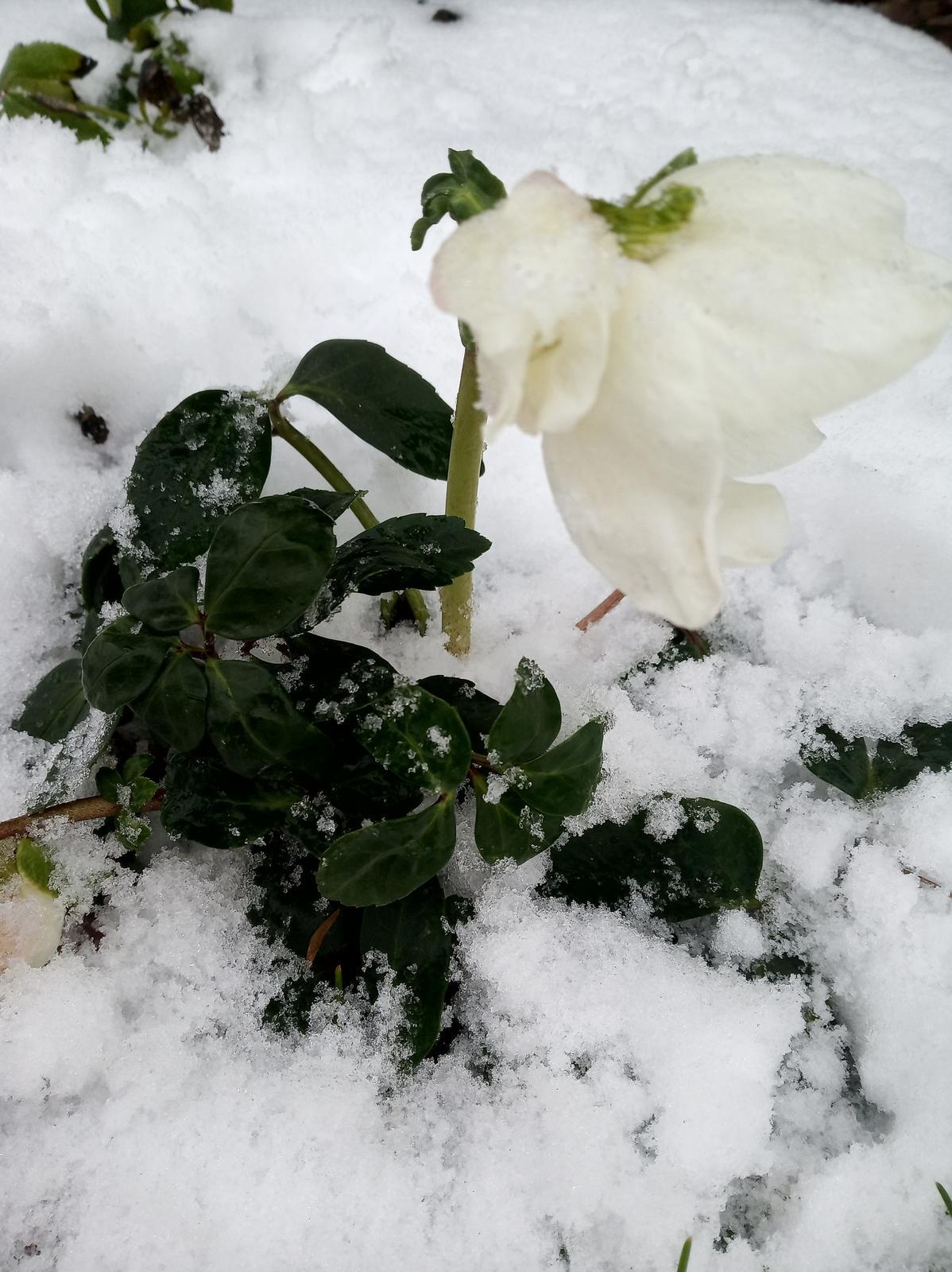 Krásky v snehu....už aby všetky rozkvitli:-) - Obrázok č. 2
