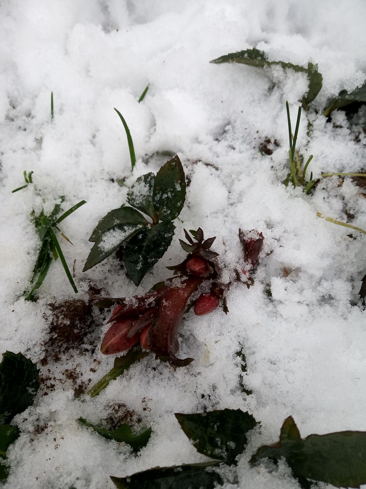 Krásky v snehu....už aby všetky rozkvitli:-) - Obrázok č. 4