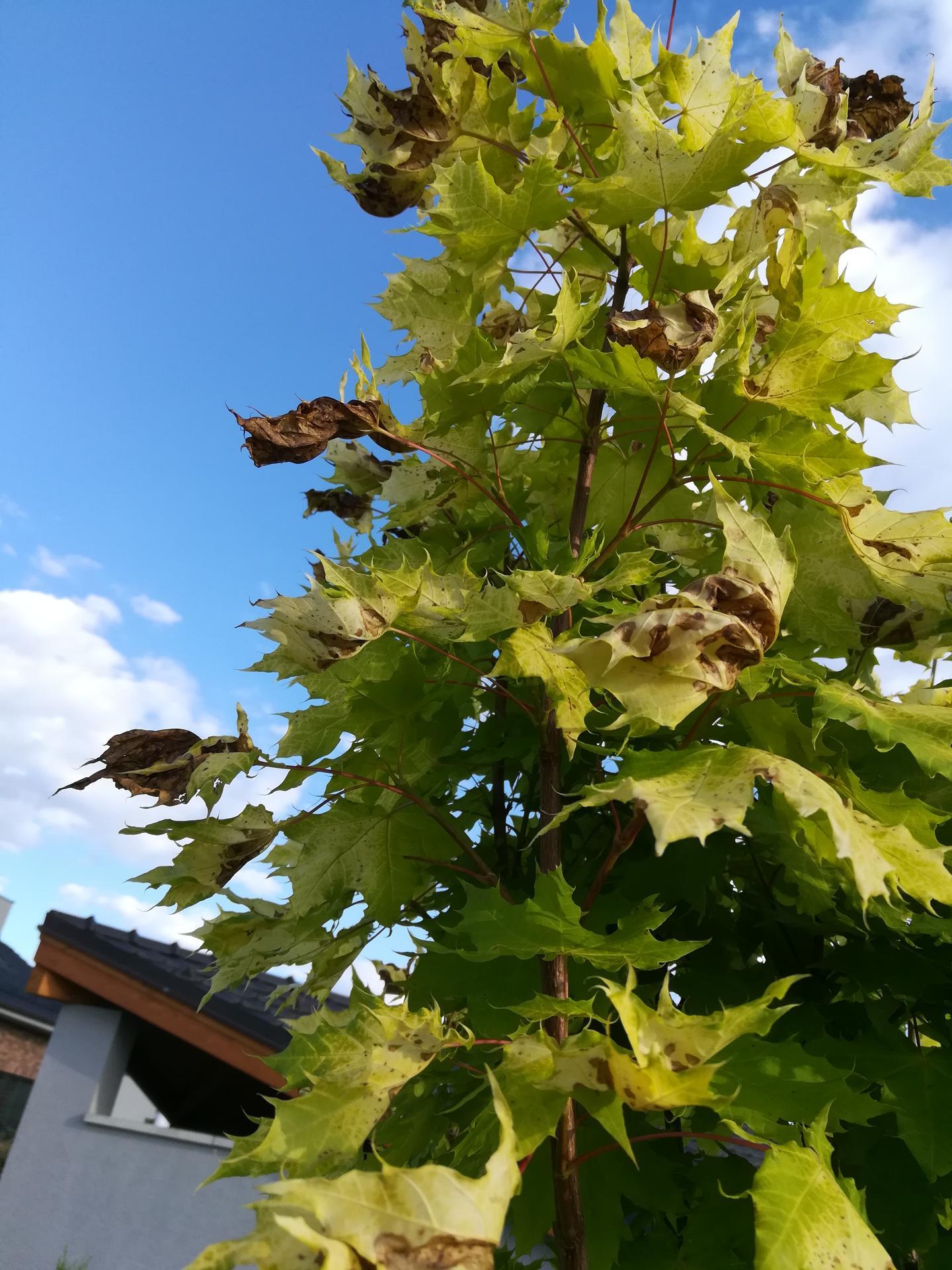 Měla bych dotaz na ty, co mají na zahradě strom Javor Golden Globe. Před 14 dny jsme si ho koupili v zahradnictví, krásně zelený. Do týdne mu listy zhnědly a zkroutily se (pořád v původním květináči). Byli jsme ho reklamovat a prý jsou listy spálené od sluníčka, prý to tak tento strom má každý rok. Prý na něj nesmí svítit slunce. Přitom tu chvíli, co jsme ho měli doma, moc slunce nebylo, spíše pršelo. Dodavatelé ho prý drží ve stínu do chvíle prodeje, aby nebylo poznat, že to tento strom dělá. Kdo ho máte - opravdu má každý rok listy takto hnědé? Opravdu jde o spálení sluníčkem? Podle popisu by měl být velmi nenáročný a zvládnout vše. Nevím, jestli se v zahradnictví jen vymlouvají, aby nemuseli uznat reklamaci, nebo jestli to tak opravdu je. - Obrázek č. 1