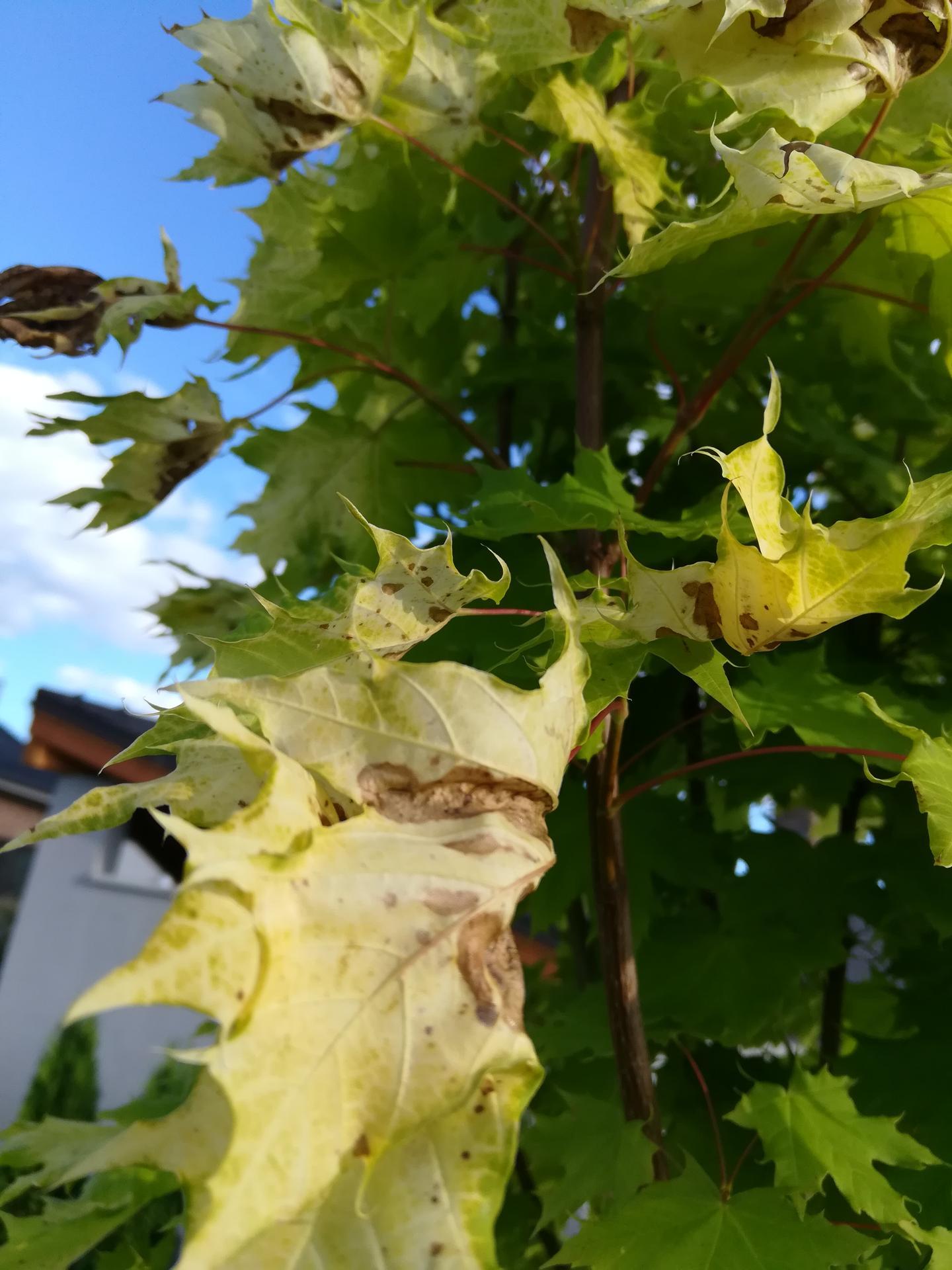 Měla bych dotaz na ty, co mají na zahradě strom Javor Golden Globe. Před 14 dny jsme si ho koupili v zahradnictví, krásně zelený. Do týdne mu listy zhnědly a zkroutily se (pořád v původním květináči). Byli jsme ho reklamovat a prý jsou listy spálené od sluníčka, prý to tak tento strom má každý rok. Prý na něj nesmí svítit slunce. Přitom tu chvíli, co jsme ho měli doma, moc slunce nebylo, spíše pršelo. Dodavatelé ho prý drží ve stínu do chvíle prodeje, aby nebylo poznat, že to tento strom dělá. Kdo ho máte - opravdu má každý rok listy takto hnědé? Opravdu jde o spálení sluníčkem? Podle popisu by měl být velmi nenáročný a zvládnout vše. Nevím, jestli se v zahradnictví jen vymlouvají, aby nemuseli uznat reklamaci, nebo jestli to tak opravdu je. - Obrázek č. 2