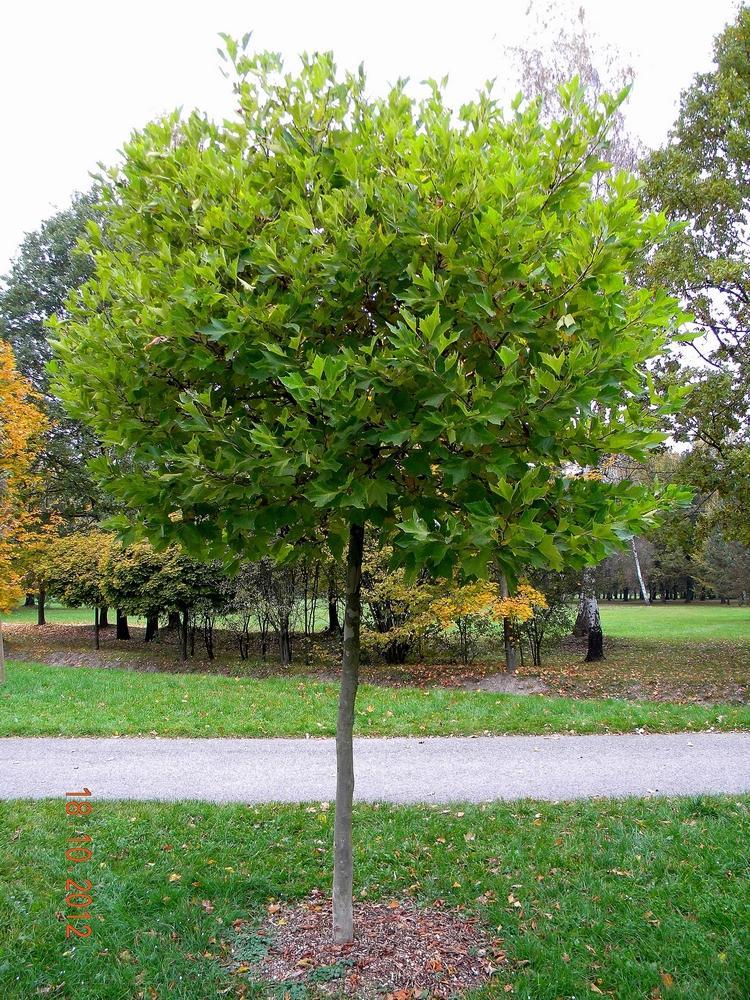 A ještě jeden dotaz bych měla, jestli můžu. :) Ráda bych na zahradu vysadila Platan javorolistý Alphens Globe. Nemáte ho někdo? Plody má prý pichlavé kuličky, které na stromě vydrží až do jara. Děti běhají po zahradě bosy. Jsou tyto kuličky spadlé na zem už na jaře měkké a nevadí, když se na ně šlápne, nebo se zapíchnou do nohy? Netušíte někdo z praxe? :) - Obrázek č. 1