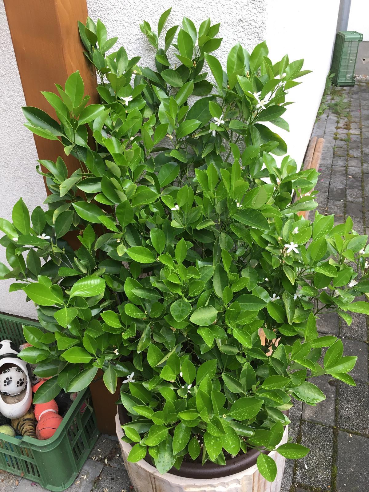 2020 😍 🌞 - Citrus tyden po aplikaci hnojiva pro subtropicke rostliny - dvakrat hustsi nez byl, krasne leskle listy a tech kvetu 😱👍🏼