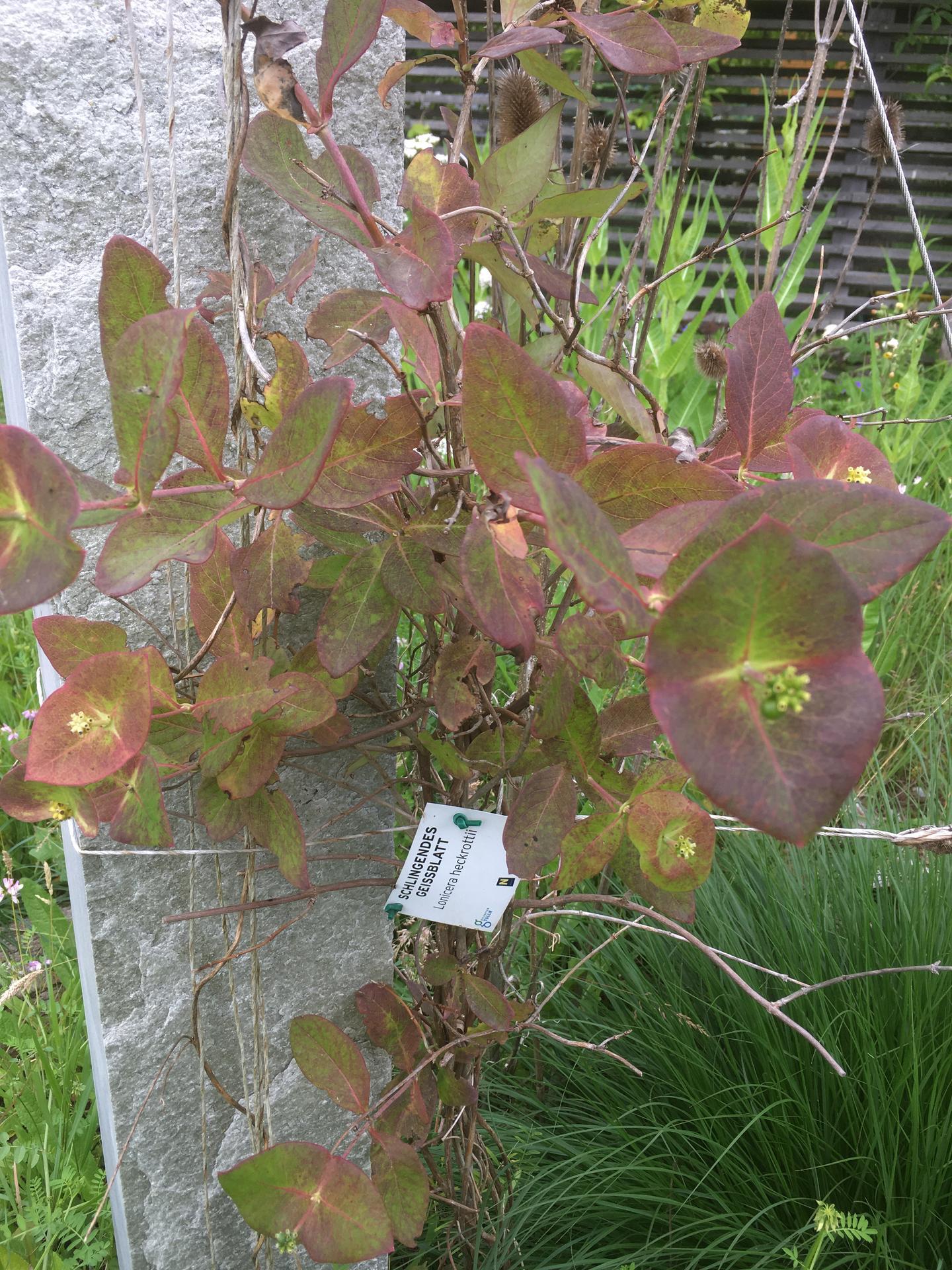 2020 😍 🌞 - Na vylete za inspiraci v zahradach v Tullnu (Rakousko) - zimolez Heckrottuv s prekvapive nacervenalymi listy