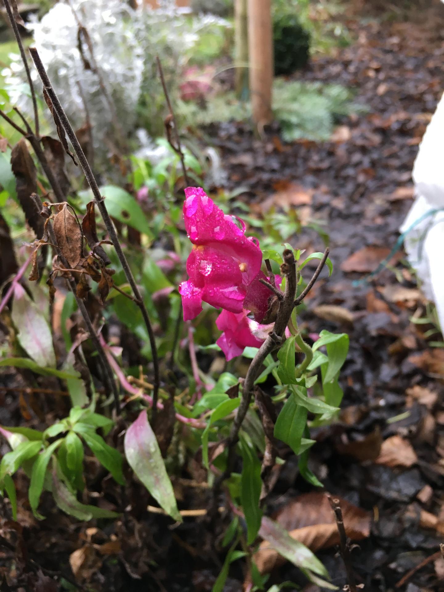 2021 🍀🤞🏻 - Hledik stale kvete. Seminka jsem nechala jsem vyklicit loni zime v plastovem kanystru a myslim, ze jim to pridalo na odolnosti, kvetly krasne celou sezonu a nektere vydrzely do ted.