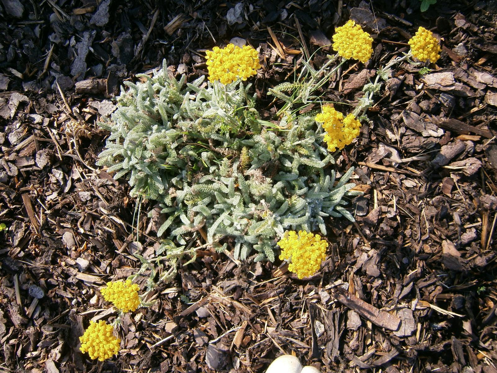Zahrada a předzahrádka - řebříček žlutý zakrslý