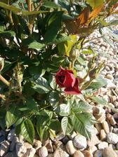 ruže z tesca