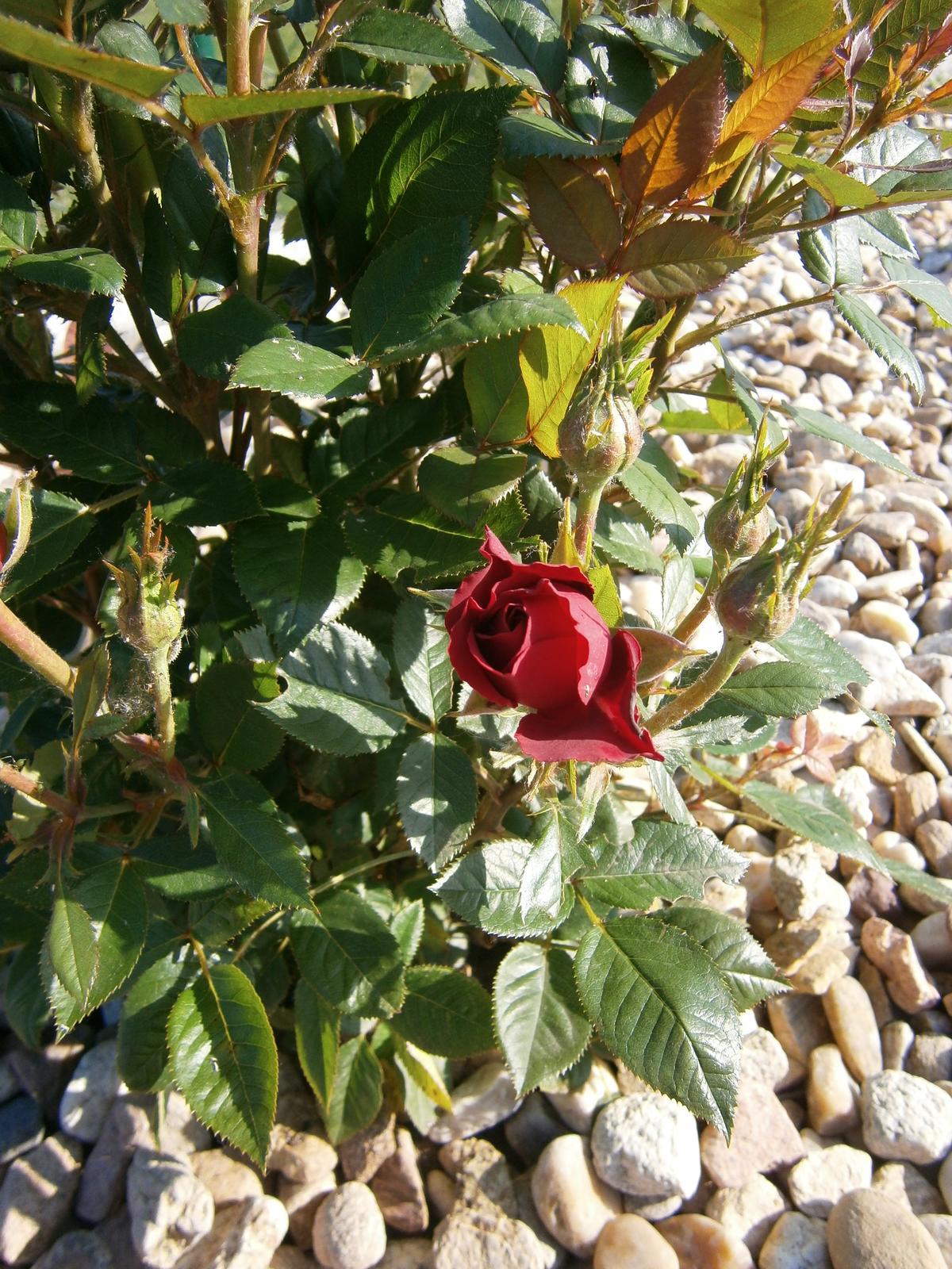 Zahrada a předzahrádka - ruže z tesca