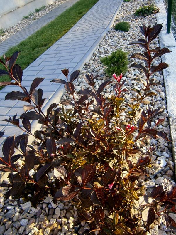Zahrada a předzahrádka - Vajgélie také kvete