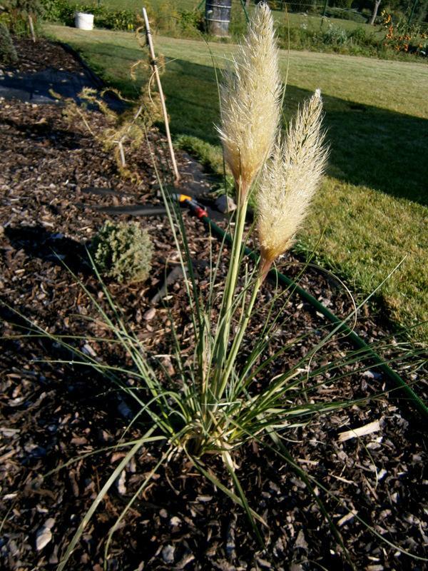 Zahrada a předzahrádka - pampová tráva