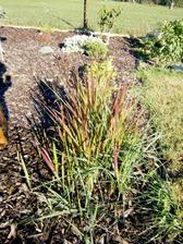 tráva redbaron- prorůstá všude potvůrka :-)