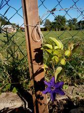 klematis-plamének - obdarval mě prvním květem a to má provizorní podmínky :D