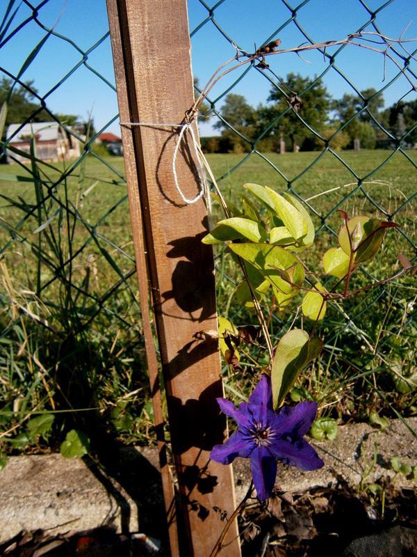Zahrada a předzahrádka - klematis-plamének - obdaroval mě prvním květem a to má provizorní podmínky :D