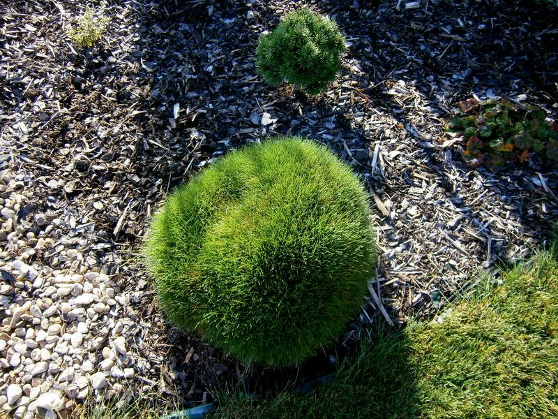 Zahrada a předzahrádka - nejkrásnější kostřava medvědí :-*