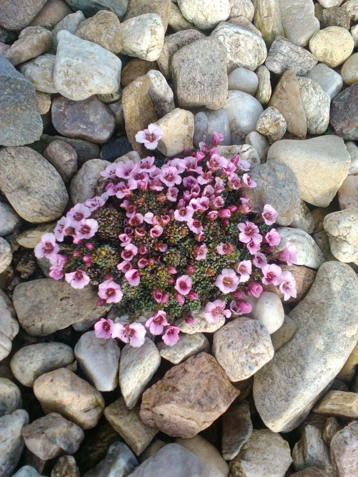 Zahrada a předzahrádka - jaro 2017---1. květinka rozkvetlá -nádherný lomikámen,je úžasnej