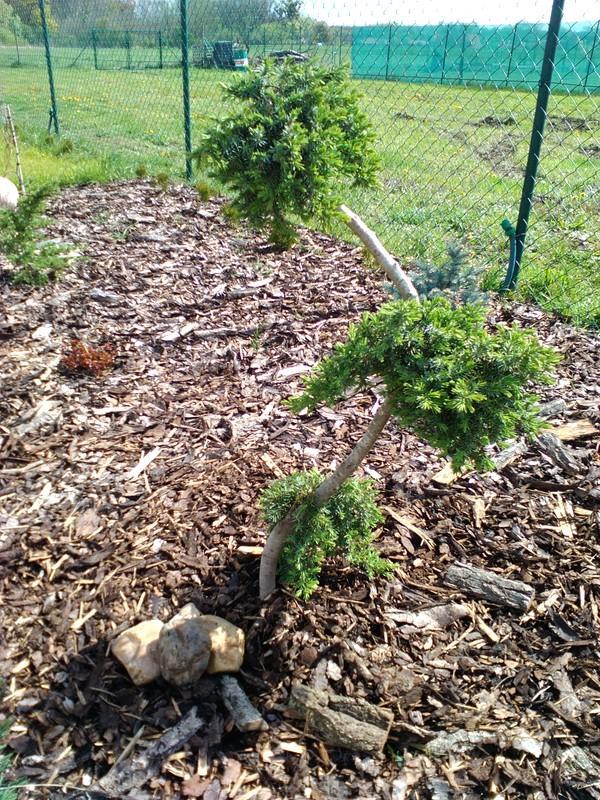 Zahrada a předzahrádka - bonsai do zahrady ;-)