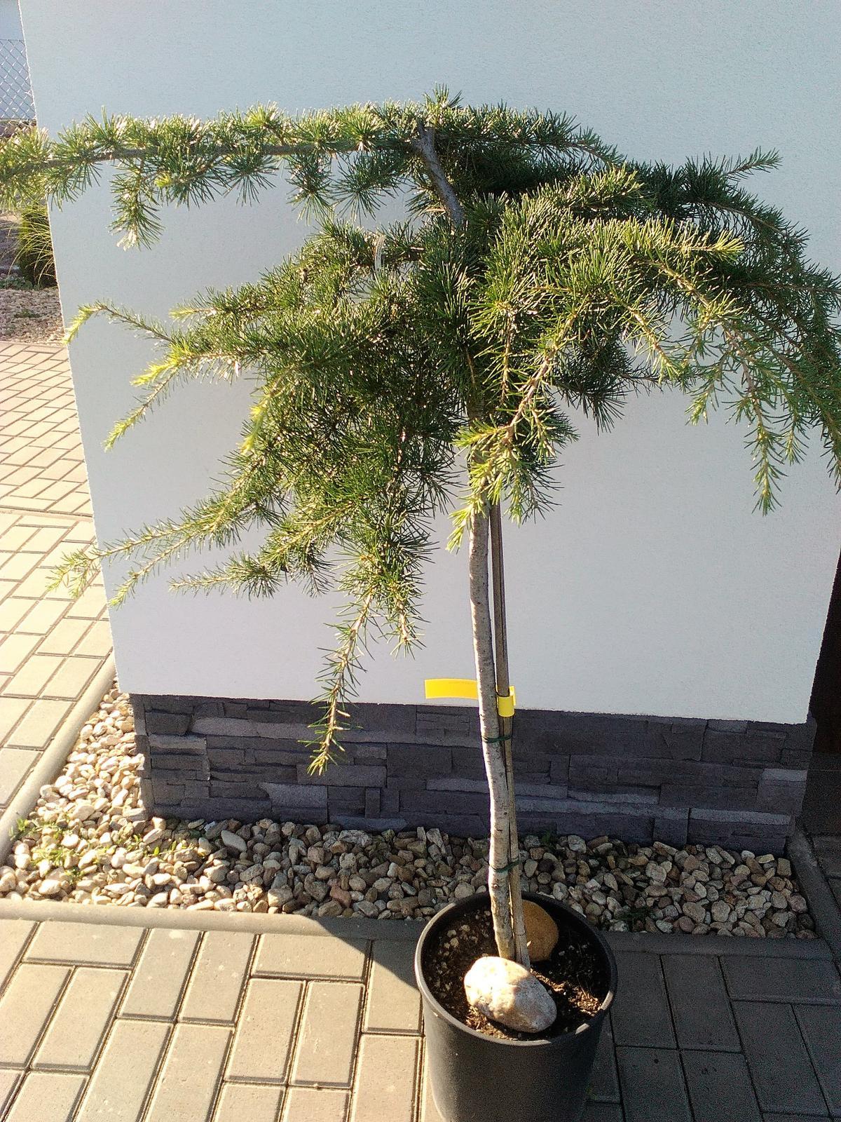 Zahrada a předzahrádka - cedr deodora pendula
