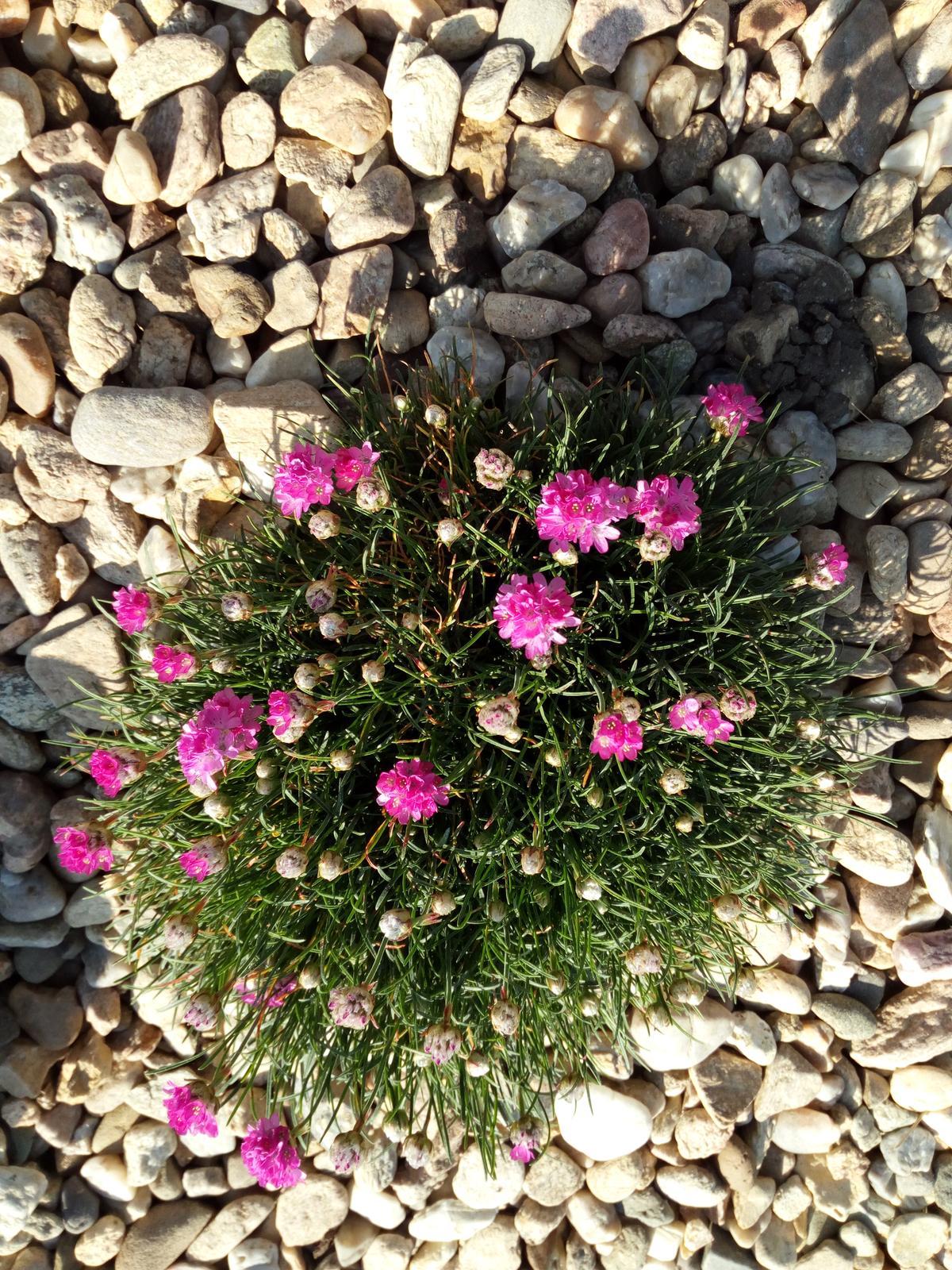 Zahrada a předzahrádka - travnička přímořská-růžová
